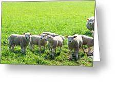 Flock Of Sheep Standing In A Field Waiting Greeting Card