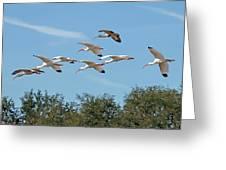 Flock Of White Ibises Greeting Card