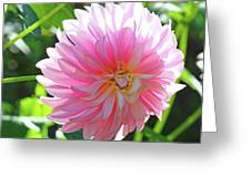 Floral Art Prints Pink Dahlias Sunlit Baslee Troutman Greeting Card