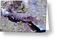 Florida Alligator Sunning Greeting Card