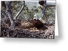 Florida: Bald Eagles, 1983 Greeting Card