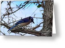 Florida Blue Jay Greeting Card