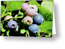 Florida - Blueberries - On The Bush Greeting Card