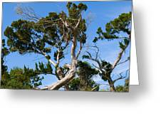 Florida Cedar Tree Greeting Card