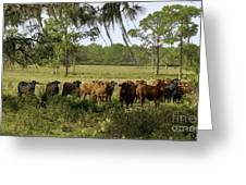 Florida Cracker Cows #3 Greeting Card