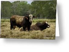 Florida Cracker Cows #4 Greeting Card