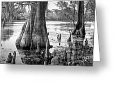 Florida Cypress, Hillsborough River, Fl In Black And White Greeting Card