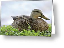 Florida Mallard Greeting Card