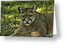 Florida Panther Agitated Greeting Card