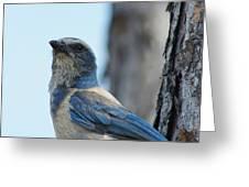 Florida Scrub Jay Close Up 2 Greeting Card