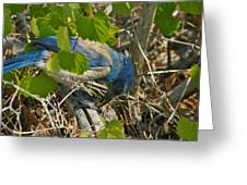 Florida Scrub Jay Eats Acorn Greeting Card