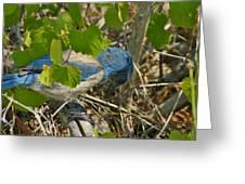 Florida Scrub Jay Opens Acorn Greeting Card