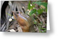 Florida Soft Shelled Turtle Greeting Card