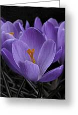 Flower Crocus Greeting Card