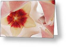 Flower Hoya 3 Greeting Card