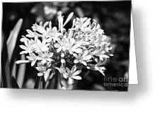Flowering Blue African Lily Of The Nile Greeting Card