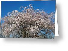 Flowering Cherry  Greeting Card