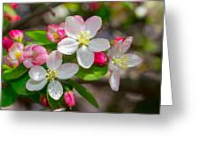 Flowering Cherry Tree Blossoms Greeting Card
