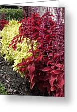Flowering Coleus Greeting Card