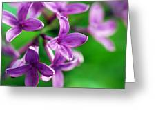 Flowering Lilac Greeting Card