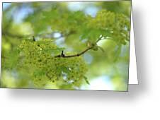 Flowering Maple Tree Greeting Card