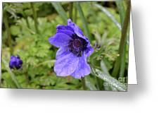 Flowering Purple Anemone Flower Blossom In A Garden Greeting Card