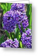 Flowering Purple Hyacinthus Flower Bulb Blooming Greeting Card