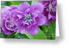 Flowering Purple Tulips With Raindrops From A Spring Rain Greeting Card