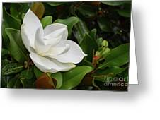 Flowering White Magnolia Blossom On A Magnolia Tree Greeting Card