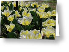 Flowering Yellow And White Tulips In A Spring Garden  Greeting Card