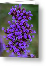 Flower_lavender 1072v Greeting Card