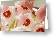 Flowers-hoya 1 Greeting Card