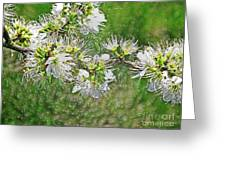 Flowers Of The Blackthorn Shrub Greeting Card