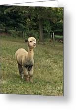 Fluffy Alpaca Greeting Card