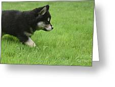 Fluffy Alusky Puppy Stalking In Green Grass Greeting Card