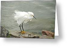 Fluffy Snowy Egret Greeting Card
