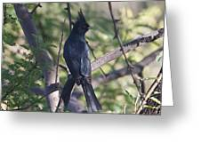 Silky Flycatcher Greeting Card