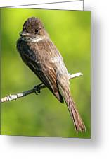 Flycatcher Greeting Card