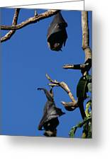 Flying Foxes In Sydney Greeting Card