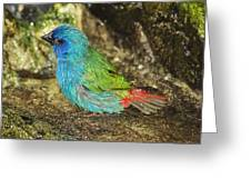 Forbes Parrot Finch Greeting Card