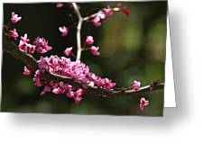 Forest Pansy Redbud Branch In May Greeting Card