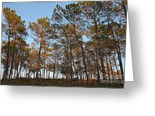 Forest Pine Trees At Sunset Greeting Card