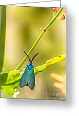 Forester Moth  Greeting Card