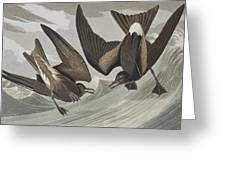 Fork-tail Petrel Greeting Card