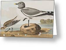 Fork-tailed Gull Greeting Card