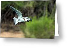 Forster's Tern 5744-092217-1cr Greeting Card