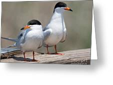Forster's Terns Greeting Card