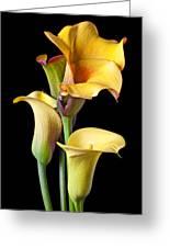 Four Calla Lilies Greeting Card
