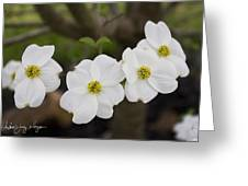 Four Dogwoods Greeting Card