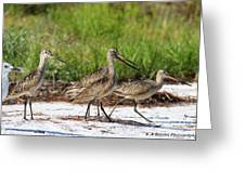Four Marbled Godwits Greeting Card